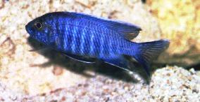 Electric Blue Hap | Sciaenochromis ahli