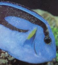 Regal Tang with White Spot. Tangs are particularly prone to whitespot.