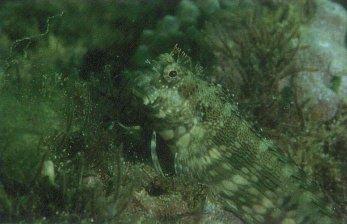 Algae Blenny (Salarius fasciatus)