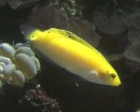 Banana Wrasse (Haliochoeres trispilus)