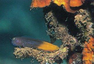 Bicolor Blenny (Ecsenius bicolor)