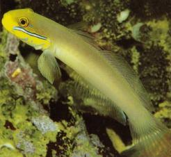 Blue-Cheek Goby (Valenciennea strigata)