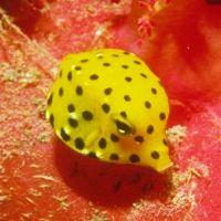 Boxfish are often similar to Porcupinefish
