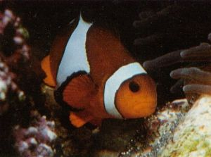 Male clownfish mainly looks after the eggs