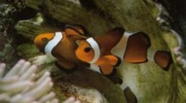 Raising Clownfish