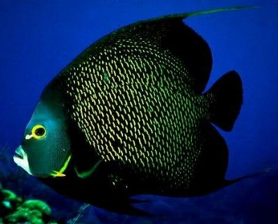 FRENCH ANGELFISH (Pomacanthus paru) (Adult)