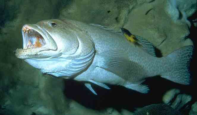 Grouper  - The more active the predator, the bigger the gills!