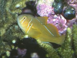 Lemon Gobies (Gobiodon citrinus)