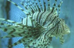 Lionfish | Pterois volitans