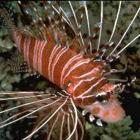 Lionfish are open water predators