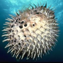 This prickly ball is unappetising to any predator!