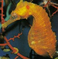 Seahorses are specialist feeders