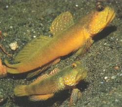 Sulphur Goby (Cryptocentrus cinctus)
