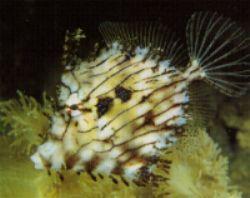 Tassel Filefish (Chaetoderma pencilligera)