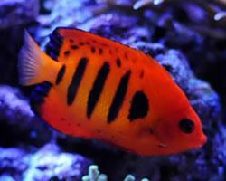 Flame Angelfish | Centropyge loriculus