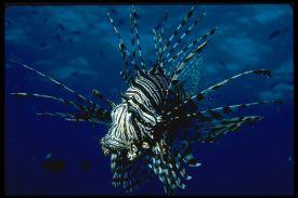 Lionfish (Pterois spp.)