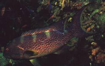 Lyretail Grouper  (Variola louti)