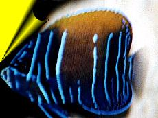 Majestic/Bluegirdled Angelfish | Euxiphipops navarchus