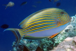 Keeping the Clown Tang | Acanthurus lineatus