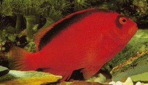 Scarlet Hawkfish (Neocirrhites armatus)