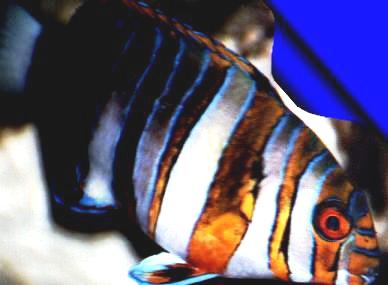 Harlequin Tuskfish (Choerodon fasciatus)