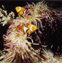 Heteractis sp. with Clownfish