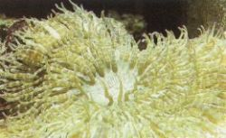 Sand Anemone