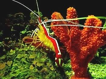 Cleaner Shrimp (Lysmata grabhami)