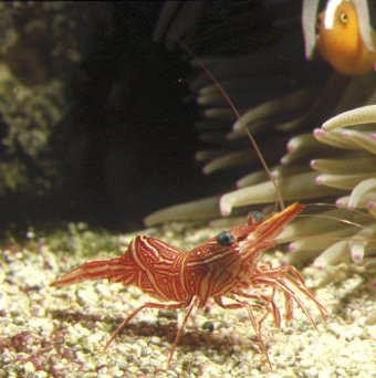 Dancing Shrimp