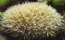 Star Polyps (Clavularia sp.)