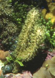 A Star Polyp 'Tree' (Clavularia sp.)
