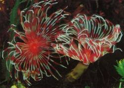 Feather Duster Tubeworms (Sabellastarte sp.)