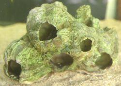 Barnacle Cluster